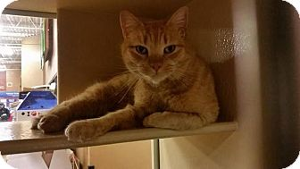 Domestic Shorthair Cat for adoption in North Haven, Connecticut - Newman