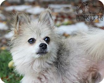 Pomeranian Dog for adoption in Troy, Illinois - Ronald (Fostered)