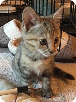 Domestic Shorthair Kitten for adoption in Waldorf, Maryland - Cammie