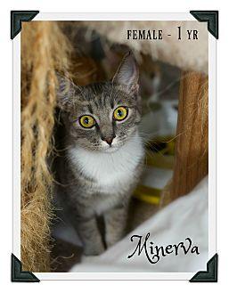 Domestic Shorthair Kitten for adoption in Fallbrook, California - Minerva