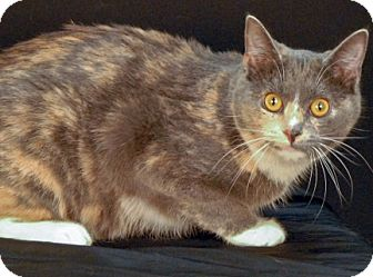 Domestic Shorthair Cat for adoption in Newland, North Carolina - Sweet Dew