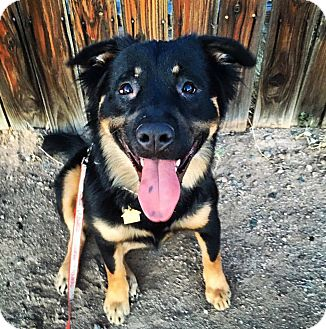 Rottweiler/German Shepherd Dog Mix Dog for adoption in Phoenix, Arizona - Suzy