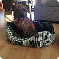 Adopt A Pet :: Vinnie - Long Beach, CA