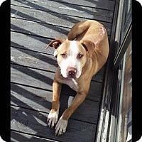 Adopt A Pet :: Beaux - Tampa, FL