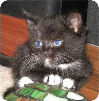 Domestic Shorthair Kitten for adoption in Cincinnati, Ohio - Brendas Female kitts