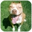 Photo 1 - American Pit Bull Terrier Dog for adoption in Gainesboro, Tennessee - Icey