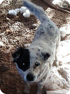 Border Collie/Australian Cattle Dog Mix Dog for adoption in Scottsdale, Arizona - Fig