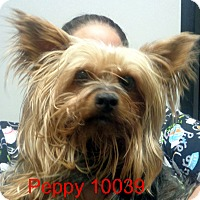 Adopt A Pet :: Peppy - baltimore, MD
