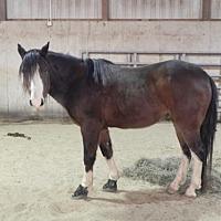Quarterhorse for adoption in Woodstock, Illinois - Knight