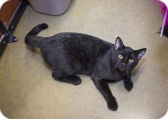 Domestic Shorthair Cat for adoption in Manhattan, Kansas - Pauper