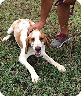 Basset Hound/Hound (Unknown Type) Mix Dog for adoption in Sedan, Kansas - Diesel