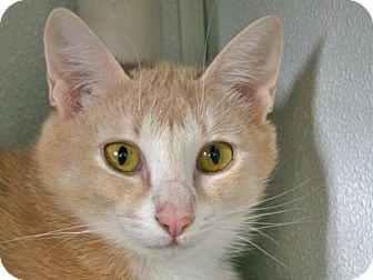 Domestic Shorthair Cat for adoption in Republic, Washington - Bellevue