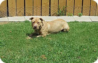 American Pit Bull Terrier Mix Dog for adoption in White Settlement, Texas - Nike
