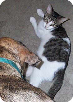 Domestic Shorthair Kitten for adoption in Morriston, Florida - Happy
