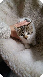 Domestic Shorthair Kitten for adoption in THORNHILL, Ontario - Hazel Mae