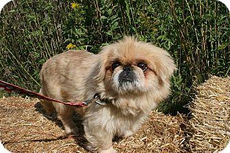 Pekingese Mix Dog for adoption in Pataskala, Ohio - Augie (adoption pending)