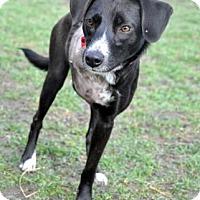 Adopt A Pet :: Sabine - Northbrook, IL