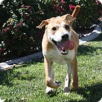 Adopt A Pet :: Opie - Henderson, NV