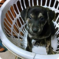 Adopt A Pet :: Aussie Mix Pups - Buffalo, NY