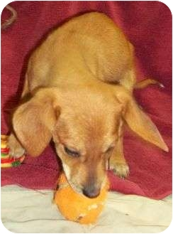 Treeing Walker Coonhound/Golden Retriever Mix Puppy for adoption in Allentown, Pennsylvania - Dansby Reduced