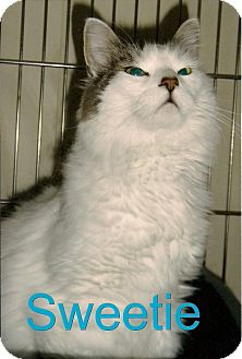 Domestic Longhair Cat for adoption in Medway, Massachusetts - Sweetie