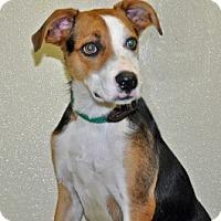 Adopt A Pet :: Ollie - Port Washington, NY
