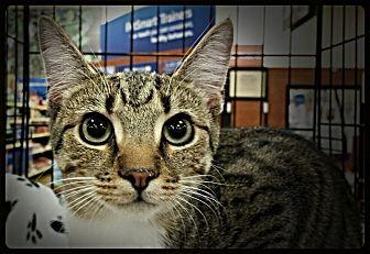Domestic Shorthair Cat for adoption in Greensboro, North Carolina - Sarah