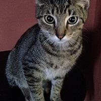 Domestic Shorthair Cat for adoption in Dallas, Texas - Newt