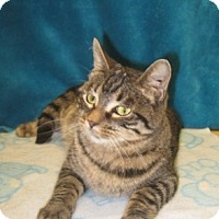 Domestic Shorthair Cat for adoption in Houston, Texas - Angie