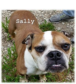 English Bulldog/Boxer Mix Dog for adoption in Decatur, Illinois - Sally