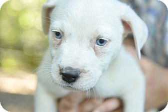 Border Collie/Cattle Dog Mix Puppy for adoption in Pottsville, Pennsylvania - Puppies!
