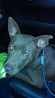 Labrador Retriever/Pit Bull Terrier Mix Dog for adoption in south plainfield, New Jersey - Coco
