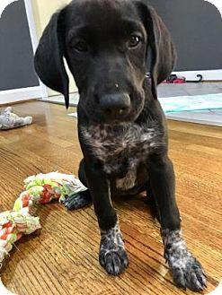Labrador Retriever/Pointer Mix Dog for adoption in Houston, Texas - Dolce