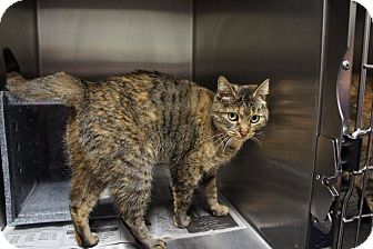 Domestic Shorthair Cat for adoption in Henderson, North Carolina - Soni