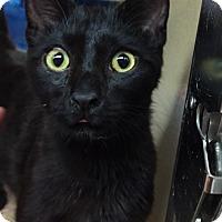 Domestic Shorthair Kitten for adoption in Morganton, North Carolina - Jabari