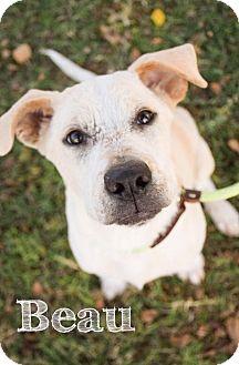 Labrador Retriever Mix Dog for adoption in DFW, Texas - Beau