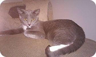 Domestic Shorthair Cat for adoption in Los Angeles, California - Quattro *Funloving Foursome*