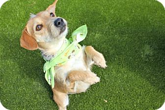 Dachshund/Field Spaniel Mix Dog for adoption in Bryan, Texas - TRIXIE