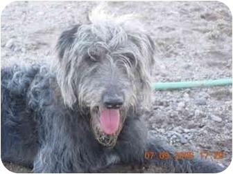 Irish Wolfhound/Poodle (Standard) Mix Dog for adoption in Thatcher, Arizona - Jake