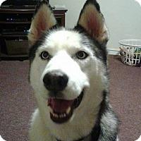 Adopt A Pet :: Siri - Brick, NJ