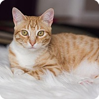 Domestic Shorthair Cat for adoption in Valley Park, Missouri - Pancake