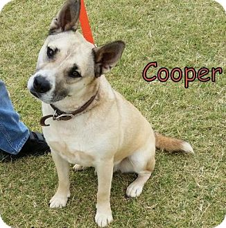 Akita/Labrador Retriever Mix Dog for adoption in Weatherford, Oklahoma - Cooper