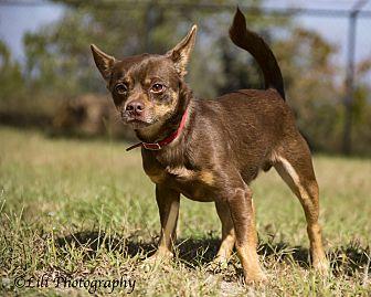 Chihuahua Dog for adoption in Warner Robins, Georgia - Brownie
