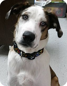 Catahoula Leopard Dog/Husky Mix Dog for adoption in Austin, Texas - Oakley