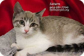 Siamese Kitten for adoption in Monrovia, California - A Baby: SATURN