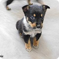 Adopt A Pet :: 2 male heeler mixes - mooresville, IN