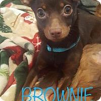 Adopt A Pet :: Brownie - Nicholasville, KY