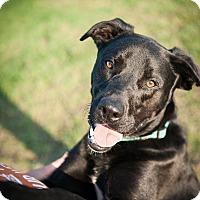 Adopt A Pet :: Curly - Wichita Falls, TX