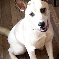 Adopt A Pet :: Sheerah - Manchester, NH