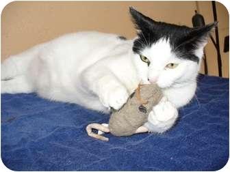 Domestic Shorthair Cat for adoption in Bentonville, Arkansas - Bob Rossi